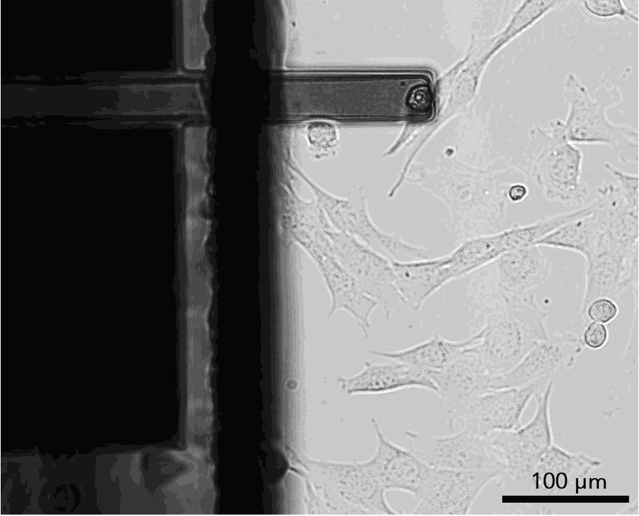AFM application - A HeLa cell detached from adherent culture with a FluidFM micropipette.