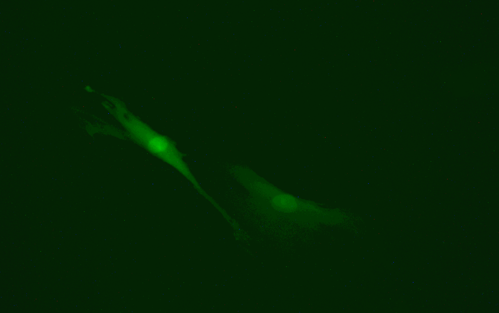 Lucifer Yellow injected into mouse embryonic fibroblasts (MEF).